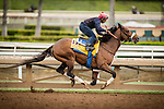ARCADIA, CA - OCTOBER 29: Shaman Ghost, owned by Stronach Stables, Inc. and trained by James A. Jerkens, exercises in preparation for the Breeders' Cup Classic  at Santa Anita Park on October 29, 2016 in Arcadia, California. (Photo by Alex Evers/Eclipse Sportswire/Getty Images)