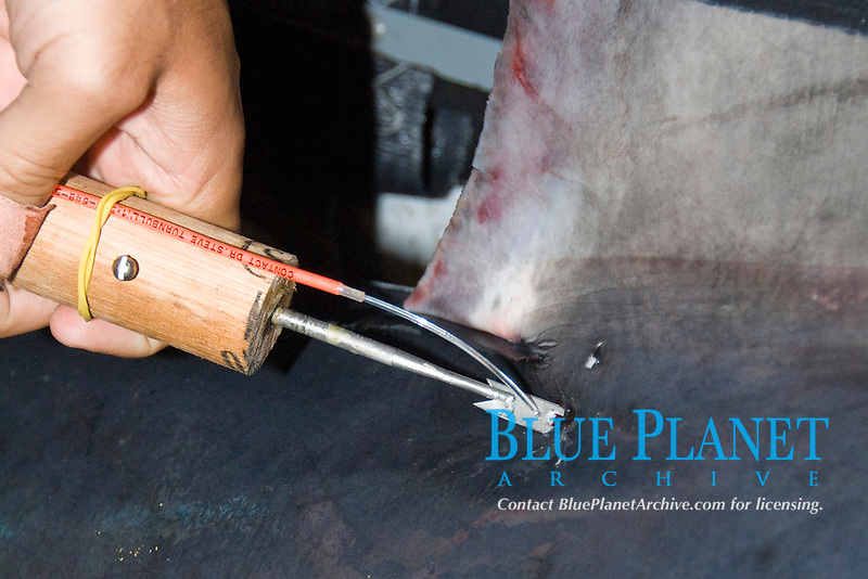 An identification tag is inserted below the dorsal fin of a Porbeagle Shark Lamna nasus. Bay of Fundy, Canada.