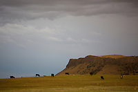Cattle graze as evening light hits hills at the eastern edge of the Rocky Mountain Front outside Fort Shaw, Montana, USA.