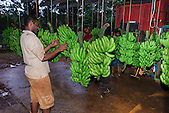 Epistillage de la banane (exploitation La Ferme du Sud, Mont-Dore)