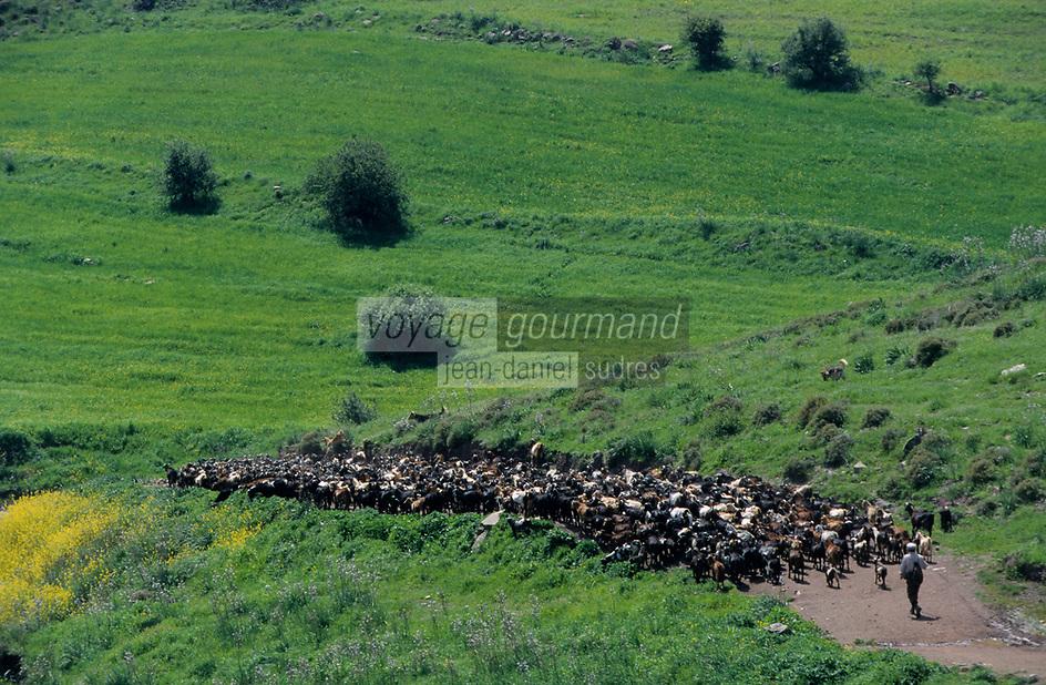 """Asie/Europe/Chypre/Drousheia : Le troupeau de chèvres d'Andrea le berger surnommé """"Moustaka"""""""