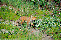 A red fox on the prowl in Alaska's McNeil River State Game Sanctuary.