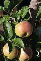 Malus domestica 'Charlotte' (Apple) C/Ball fruit apples growing