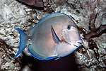 blue tang swimming right