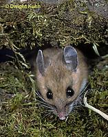 MU14-003a  Deer Mouse - Peromyscus maniculatus