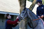 October 18, 2015:  Mutatis Mutandis (IRE) walking the barn area for trainer Ed Walker in preparation for the Breeder's Cup Filly & Mare Turf.  Candice Chavez/ESW/CSM