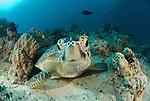Green Turtle, Chelonia mydas