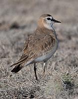 Mountain plover in breeding plumage