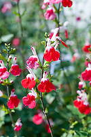 Salvia microphylla 'Hot Lips' aka Salvia x jamensis Hot Lips, Autumn Sage, red and white color of flowers