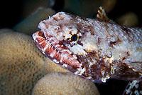 Slender Lizardfish ( Saurida gracilis ) underwater off Wakatobi, Southeast Sulawesi, Indonesia.