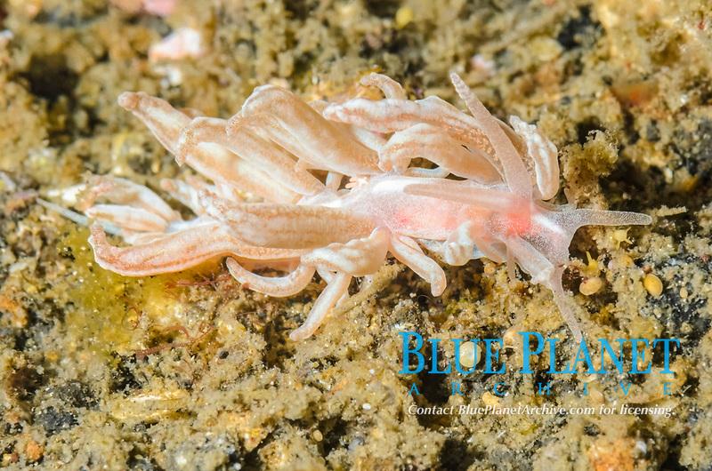 Solar powered sea slug or nudibranch, Phyllodesmium sp., Lembeh Strait, North Sulawesi, Indonesia, Pacific