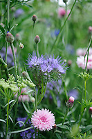 Phacelia and Cornflowers