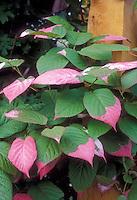 Climbing Variegated Kiwi Vine Actinidia kolomikta Arctic Beauty with pink, green and white leaves