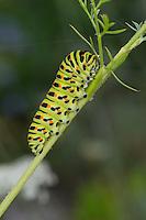 Schwalbenschwanz, Raupe frisst an Wilder Möhre, Papilio machaon, Old World swallowtail, common yellow swallowtail, swallow-tail, caterpillar, Le Machaon, Grand porte-queue