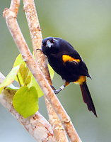 Adult black-cowled oriole