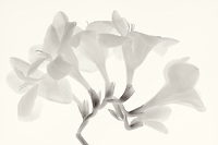 Lysimachia flower close up. Oregon