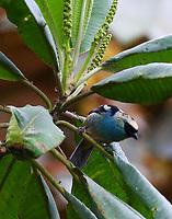 Metallic-green tanager male