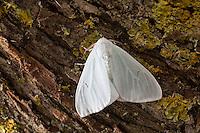 Schwarzes L, Arctornis l-nigrum, Arctornis pusillata, Phalaena l-nigrum, Black V Moth, Le L noir, Trägspinner, Lymantriidae, Schadspinner, Wollspinner, Lymantriinae