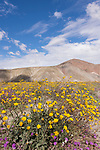 Anza-Borrego Desert State Park, Borrego Springs, California; a patch of yellow Desert Sunflowers and purple Sand Verbena flowers with blue skies and cloud formations in the background