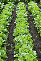 Lettuce 'Bubbles' growing in rows in ground in vegetable garden, A compact cos lettuce