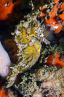 White's seahorse, New Holland seahorse, or Sydney seahorse, Hippocampus whitei, being camouflaged, endemic species, endangered species, Sydney Harbour, Sydney, New South Wales, Australia, Pacific Ocean