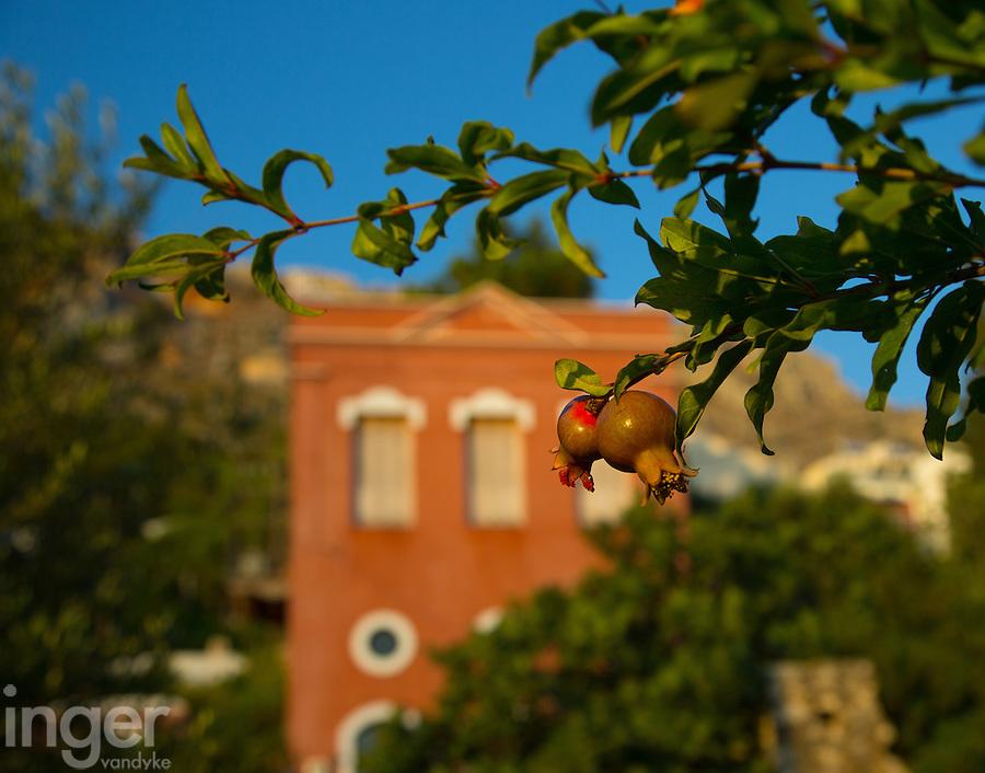 Wild pomegranates growing on Kastellorizo, Greece