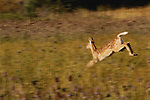 White-tailed deer, Montana