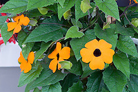 Thunbergia alata 'Orange Glo' Clock vine closeup of flowers