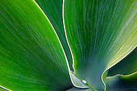 Close up of Agave plant. Park in Santa monica, California
