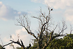 Damon, Texas; four crested caracara birds, two adults and two fledglings, perched on dead tree branches in the middle of a pasture in late afternoon sunlight