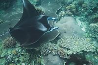 Manta ray entangled in longline, Mobula alfredi, Sangalaki, Sabah, Borneo, Malaysia, Pacific Ocean