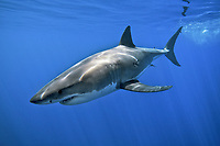 Mexico, Baja, Guadalupe Island, Great White Shark, Carcharodon carcharias, underwater