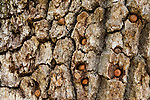 Oak (Quercus sp) branch, part of a granary tree, with acorns placed there by Acorn Woodpeckers (Melanerpes formicivorus), Blue Oak Ranch Reserve, Bay Area, California