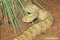 0511-1106  Neotropical Rattlesnake (South American Rattlesnake), Crotalus durissimus  © David Kuhn/Dwight Kuhn Photography