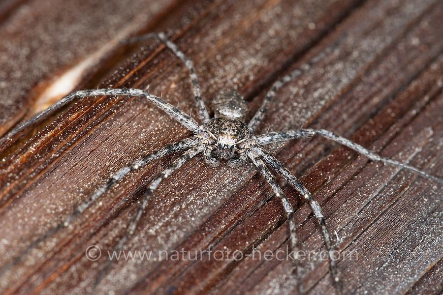 Laufspinne, Flachstrecker, Flach-Strecker, Philodromus margaritatus, philodromid crab spider, Laufspinnen, Philodromidae, philodromid crab spiders