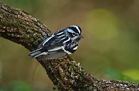 Black-and-White Warbler (Mniotilta varia), male, South Padre Island, Texas, USA