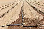 Drip irrigation, vegetable field in western Oregon.  47th Avenune Farms, a Community Supported Agriculture organic farm.