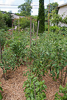 Tomatoes staked and caged in mulched with straw vegetable garden in backyard, with house, blue sky, clouds