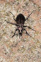 Körniger Laufkäfer, Gekörnter Laufkäfer, Gemeiner Feldlaufkäfer, Männchen, Carabus granulatus, field ground beetle