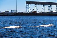 Two adult Beluga (Delphinapterus leucas) surfacing in the Churchill River, Manitoba, Canada.