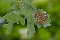 Mondvogel, Mondfleck, Raupe an Eiche, Phalera bucephala, Buff-tip moth, buff tip caterpillar, La Bucéphale, Zahnspinner, Notodontidae, prominents