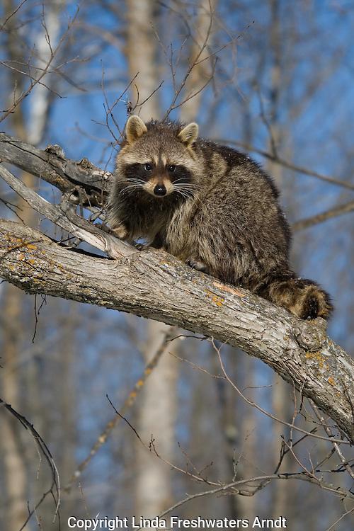 Raccoon (Procyon lotor) sitting on a tree branch