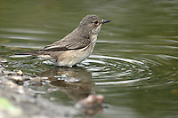 Grauschnäpper, badend in einer Pfütze, Wasserloch, Grau-Schnäpper, Muscicapa striata, spotted flycatcher