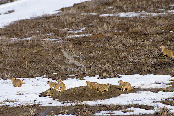 Black-tailed prairie dogs (Cynomys ludovicianus) enjoy a sunny day in late winter-early spring on the northern plains.