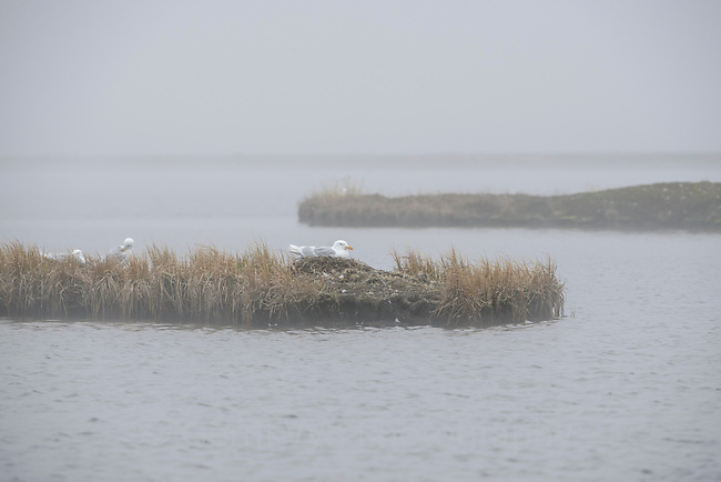 Glaucous Gull (Larus hyperboreus) sitting on an island nest in morning fog. Yukon Delta National Wildlife Refuge, Alaska. June.