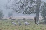 Damon, Texas; several sandhill cranes foraging for food in a pasture early on a foggy morning