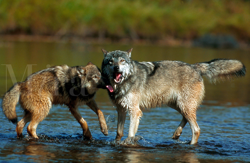 Two grey wolves standing in a river