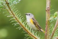 American redstart warbler, Setophaga ruticilla, from pine branch in spring, Cape Breton Island, Nova Scotia, Canada