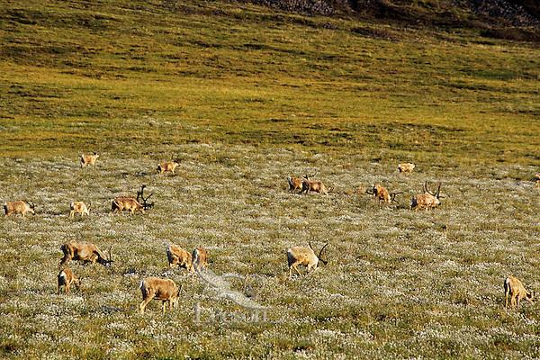 Barren ground caribou on coastal plains, Arctic NWR, Alaska, Summer.
