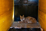 Balkan Lynx (Lynx lynx balcanicus) female caught in box trap during collaring, Mavrovo National Park, North Macedonia